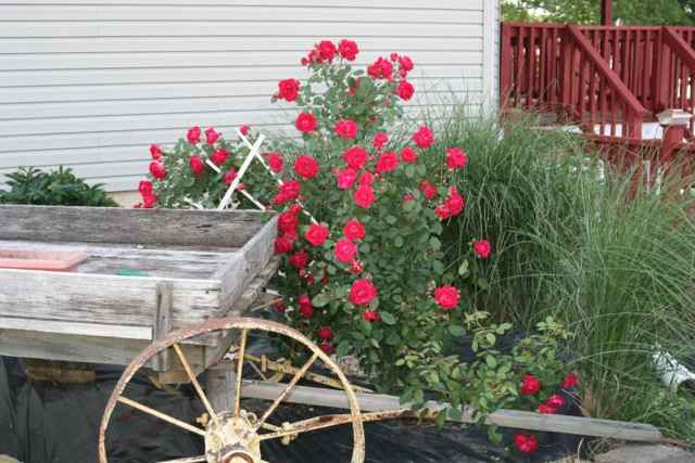 Mary Miller's roses are experiencing an abundance of blooms.